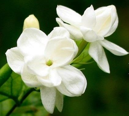 The Surprising Benefits Of Jasmine Essential Oil
