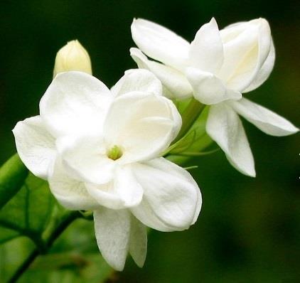 The Surprising Benefits Of Jasmine Essential Oil